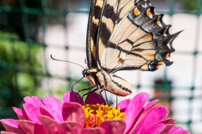 Canadian Tiger Swallowtail Butterfly