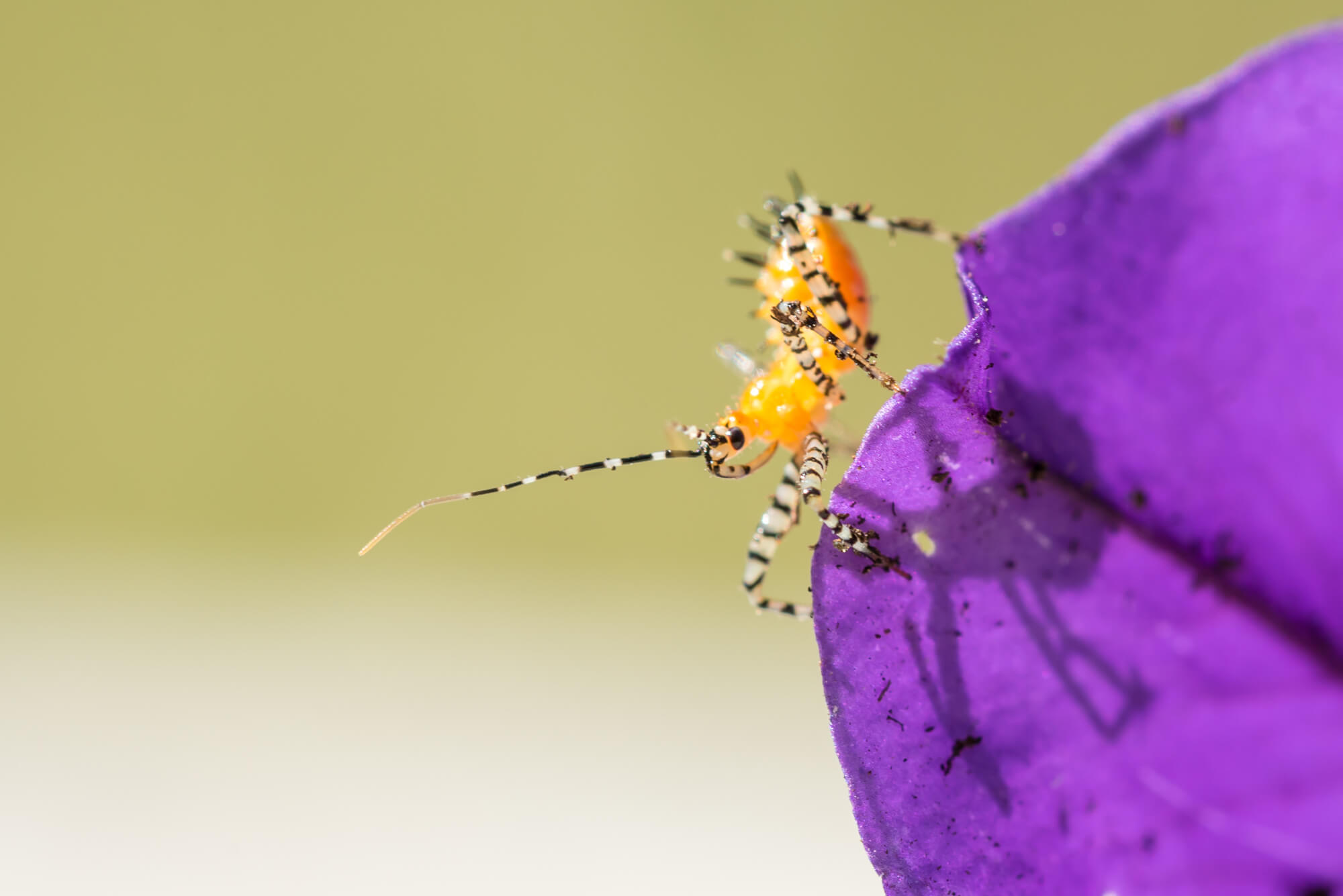 Sycamore Assassin Bug