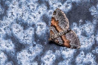 Labrador Carpet Moth