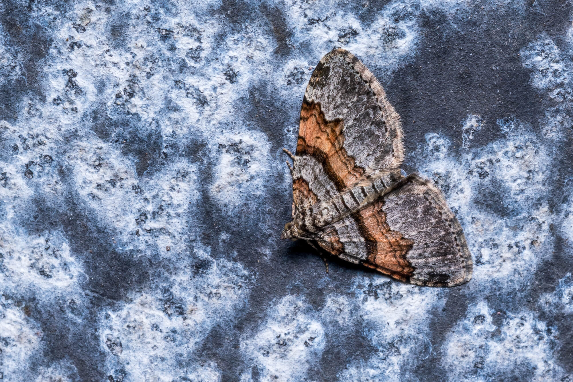 Labrador Carpet Moth