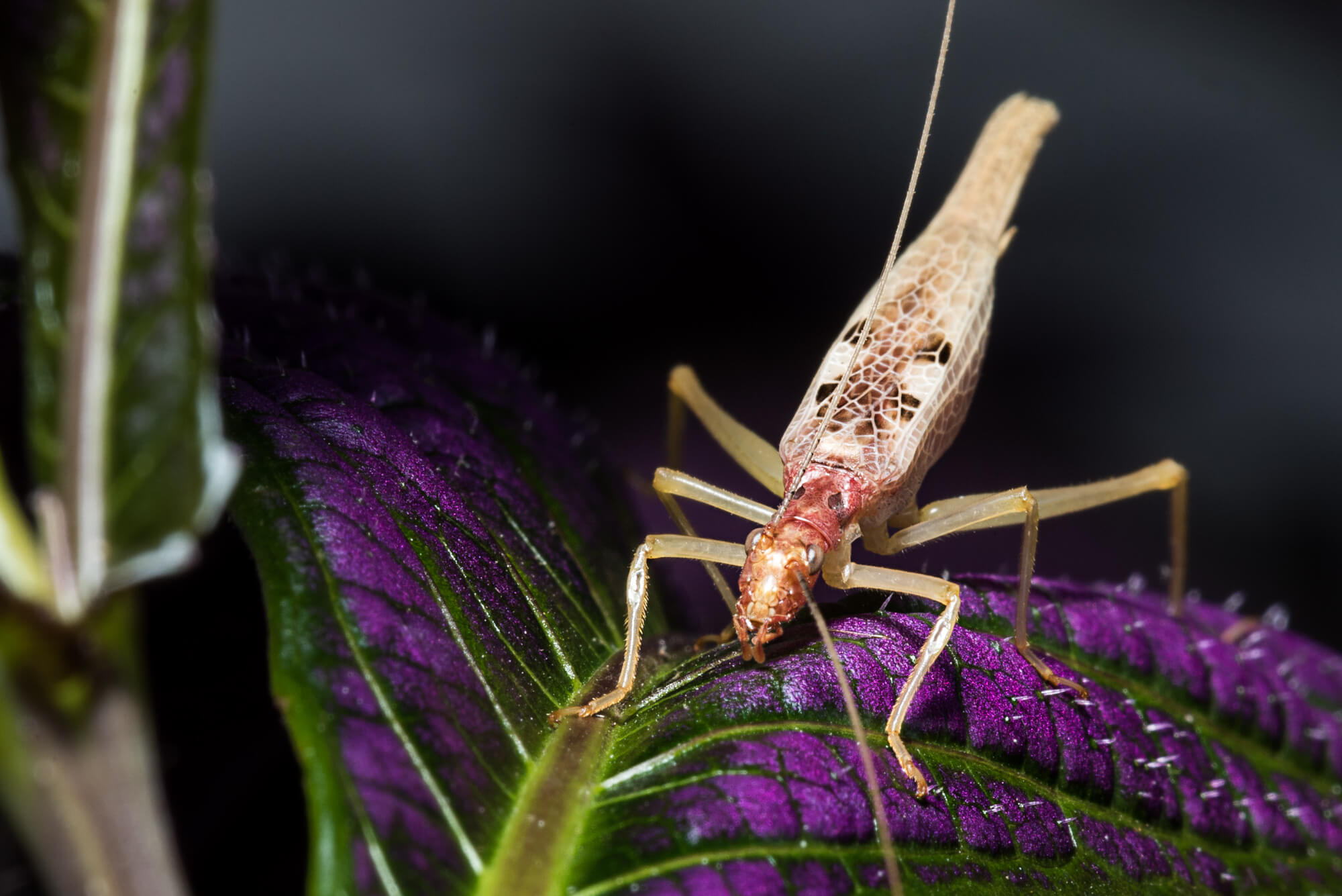 Two-spotted Cricket