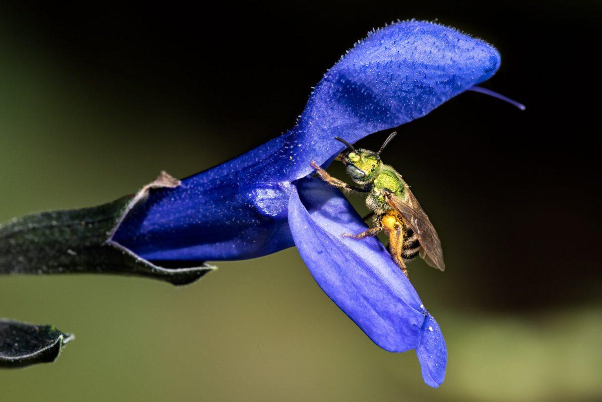 Green Sweat Bees (Agapostemon)