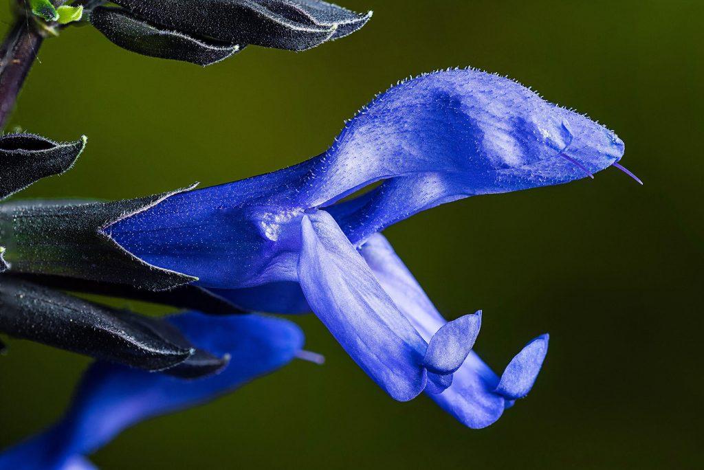 Midnight Blue Salvia